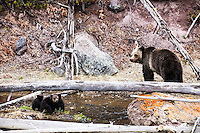 Grizzly bear sow and cubs, Yellowstone National Park