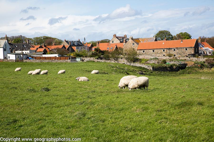 Village houses and sheep, Holy Island, Lindisfarne, Northumberland, England, UK