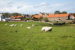 Village houses and sheep, Holy Island, Lindisfarne, Northumberland, England, UK