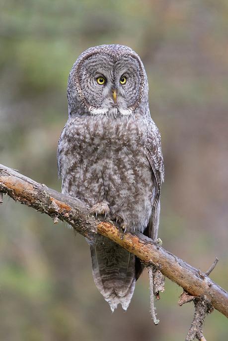 Great Gray Owl, Grand Teton National Park