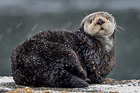 Adult Sea Otter (Enhydra lutris) on old boat dock during light snow,  Prince William Sound, Alaska.