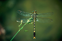 A Dragonfly perched on the chaff of a tall grass plant.