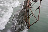 Europe/France/Bretagne/29/Finistère/Riec-sur-Belon: Huitres Cadoret -a bord du chaland ostréicole les dragues permettent de récolter les huitres