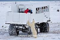 01874-11120 Polar bear (Ursus maritimus) near Tundra Buggy, Churchill, MB