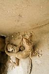 Yellow Fan-fingered Gecko (Ptyodactylus hasselquistii) on building wall, Hawf Protected Area, Yemen