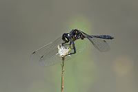 362690019 a wild male black meadowhawk sympetrum danae perches on a plant stem in mono county california