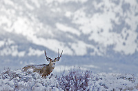 Big Buck, Big Country