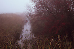 Misty winter view of dyke filled with water and edged with brown reeds and hawthorn bush with deep red berries