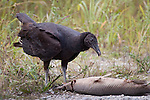A black vulture enjoys a gar on the roadside.