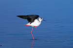 Black-Winged Stilt wading in a lake in Tanzania.