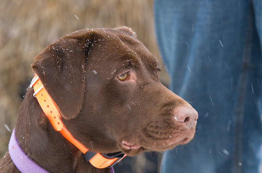 Portrait of a female chocolate labrador retriever while hunting pheasants in the snow in Michigan's Upper Peninsula.