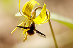 Bee Fly feeding on Trout Lily