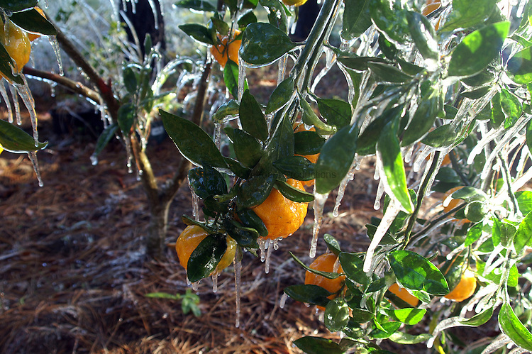 The blanket of ice encasing the fruit and leaves of this tangerine tree acts as insulation to protect the tree and the fruit from freezing.