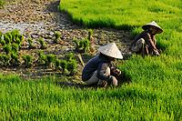 LAOS Vang Vieng , Reisfelder, Frauen pflanzen Reissetzlinge um / LAOS Vang Vieng, paddy fields, women replant rice plants from nursery to field