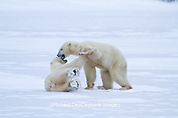 01874-12515 Two Polar bears (Ursus maritimus) sparring, Churchill Wildlife Management Area, Churchill, MB Canada