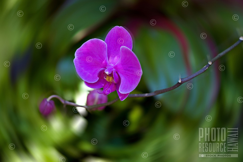 Single magenta orchid on long stem with blurred background