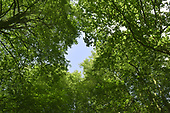 Summer woodland canopy
