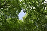 Summer woodland canopy