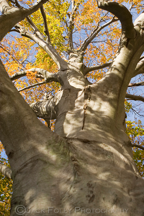 Looking up an American beech tree in autumn.