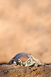 Ground squirrel, Xerus inauris, sleeping, Kgalagadi Transfrontier Park, Northern Cape, South Africa