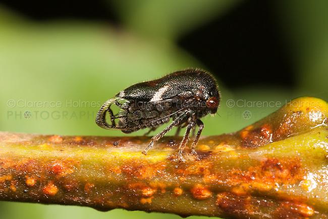 Black Locust Treehopper (Vanduzea arquata), West Harrison, Westchester County, New York