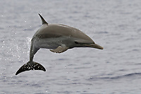 Pantropical spotted dolphin, Stenella attenuata, leaping, Kona Coast, Big Island, Hawaii, USA, Pacific Ocean