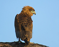 Bateleur Eagle perched on a tree in the Okavango Delta, Botswana Africa.
