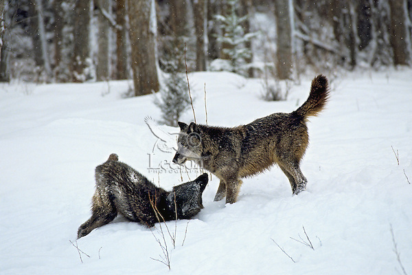 Gray wolves (Canis lupus) or Timber Wolves showing submissive/dominance behavior.