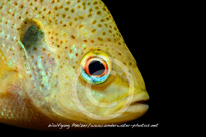 Lepomis gibbosus, Gemeiner Sonnenbarsch oder Kuerbiskernbarsch, Kopfportrait,  pumpkinseed sunfish, Head Portrait, Ginnie Spring, High Springs, Gilchrist County, Florida, USA, United States