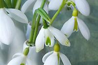 Galanthus snowdrops bulbs flowers iin vase picked, mixture of varieties including Scharlockii