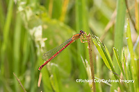 06061-00107 Eastern Red Damsel (Amphiagrion saucium) female Dent Co. MO