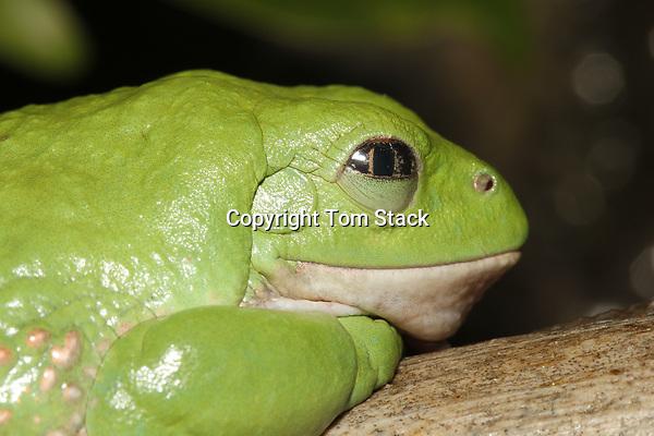 Mexican Dumpy Frog,Pachymedusa dacnicolor, Mexico