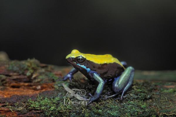 BLUE-LEGGED MANTELLA..Native to southwestern Madagascar..Captive. (Mantella expectata).