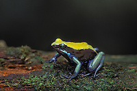 BLUE-LEGGED MANTELLA..Native to southwestern Madagascar..Captive. (Mantella expectata).