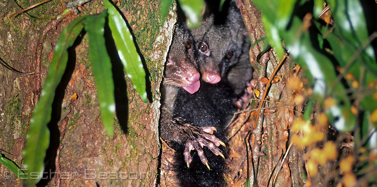 Bobucks or Mountain Brushtail Possums (Trichosurus cunninghamii). Mother and large young sharing same hollow in myrtle tree. Central Highlands, Victoria.