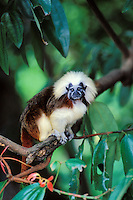 Cotton-top Tamarin or Cotton-top marmoset (Saguinus oedipus).  Rainforest. Range: Northern South America.  Endangered Species.