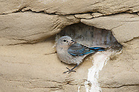Female Mountain Bluebird (Sialia currucoides) returning to its nest cavity with food. Sublette County