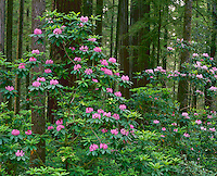 Jedediah Smith Redwoods State Park, CA<br /> Rhododendron (R. macrophyllum) flowers in a grove of redwoods and firs