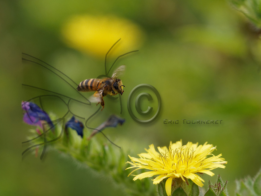 Honeybee flying on flower with pollen balls.