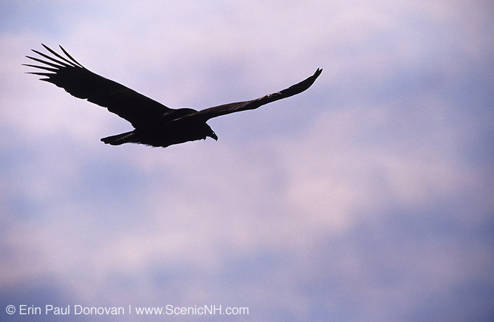 The silhouette of a turkey vulture flying high above the trees