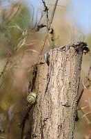 A White Lipped Banded Snail {Cepaea hortensis} at Carsington Water, Derbyshire