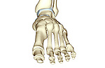 A superior view of the bones of the foot. Royalty Free