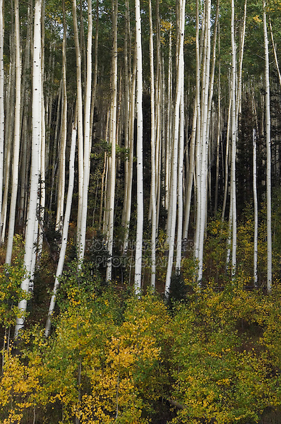 Aspen grove with fall colors, Uncompahgre National Forest, Colorado, USA, September 2007