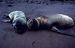 Baby Galapagos Sea Lion, Zalophus californianus wollebacki, laying on beach asleep, pair together, Ecuador
