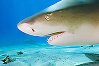 Lemon Shark, Negaprion brevirostris, West End, Grand Bahama, Atlantic Ocean.