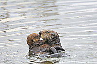 "Sea Otters (Enhydra lutris)--mom with young pup.  Young pups have light brown or yellowish fur called the ""natal pelage.""  This fluffy fur helps the pup stay afloat before it learns the intricacies of swimming, and it will be completely replaced with dark brown adult fur by the time the pup is about three months old."