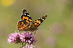 Painted Lady Butterfly, Vanessa cardui, Queensdown Warren, Kent Wildlife Trust, UK, migratory species, nectaring on flowers,