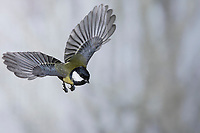Kohlmeise, Flug, Flugbild, fliegend, Kohl-Meise, Meise, Meisen, Parus major, Great tit, tit, tits, flight, flying, La Mésange charbonnière