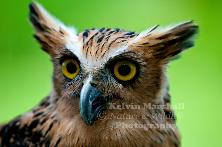 This Owl is 42cms (16½ inches) in length, has large eyes and long ears tufts. As its name suggests, it feeds on fish by making shallow dives for fish near the surface of the water. It has no feathers on its legs and feet and the soles of its feet are sharp and spiky. Its claws are long and curved.