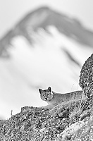 A female puma rouses itself for the afternoon hunt.